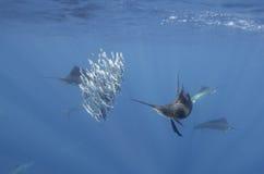Atlantic sailfish feeding on sardines, Cancun Mexico. Royalty Free Stock Photos