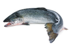 Atlantic Salmon Royalty Free Stock Image