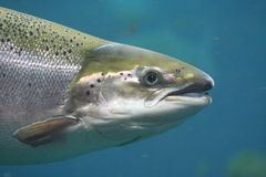 Atlantic salmon stock photos