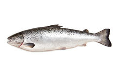 Atlantic Salmon fish Royalty Free Stock Images