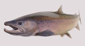 Atlantic Salmon fishing portrait Stock Images