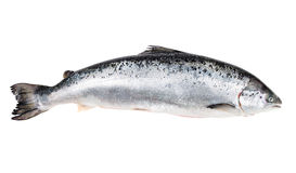 Atlantic salmon isolated  on white with clipping path. Salmon isolated  on white with clipping path Royalty Free Stock Image