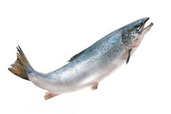 Atlantic salmon Royalty Free Stock Photo