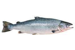 Atlantic salmon. Salmo salar. Atlantic salmon on the white background Royalty Free Stock Image