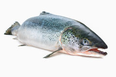 Atlantic salmon. Salmo salar. Atlantic salmon on the white background Stock Images