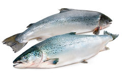 Atlantic salmon Stock Images