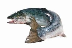 Atlantic salmon. Salmo salar. Atlantic salmon on the white background Stock Photography