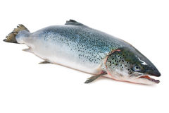 Atlantic salmon Royalty Free Stock Photography