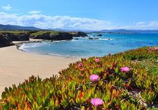 Atlantic sandy Islas beach Spain. Summer blossoming Atlantic beach Islas Galicia, Spain with white sand and pink flowers in front Stock Image