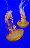 Atlantic sea nettle jellyfish. Pair of exotic atlatic sea nettle jellyfish floating in a aquarium Royalty Free Stock Photos