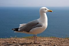 Atlantic seagull Stock Images