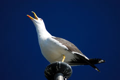 Atlantic seagull (Larus spp.) in Reykjavik, Iceland Royalty Free Stock Images