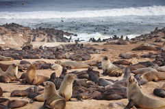 Atlantic seals Stock Photos