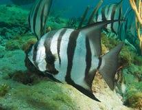Atlantic Spadefish. Close up of an Atlantic Spadefish, other fish in spadefish in background Stock Photo