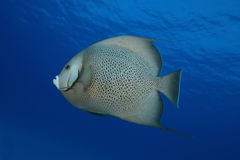 Atlantic Spadefish Royalty Free Stock Photos