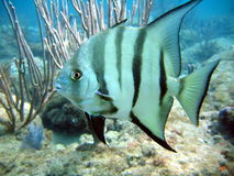 Atlantic Spadefish. This image was taken off the beach in Pompano beach, Florida stock photography