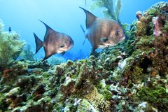 Atlantic Spadefish Stock Photo