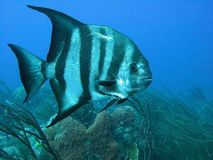 Atlantic Spadefish Stock Photography