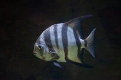 Atlantic spadefish (Chaetodipterus faber). Stock Photo