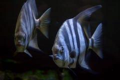 Atlantic spadefish (Chaetodipterus faber). Royalty Free Stock Images