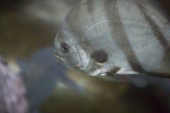 Atlantic Spadefish Royalty Free Stock Photos