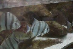 Atlantic Spadefish Royalty Free Stock Images