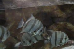 Atlantic Spadefish Stock Photo
