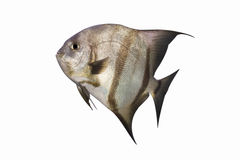 Atlantic Spadefish. An Atlantic Spadefish swimming upwards, isolated on white. This image is also available as a transparent PNG file Royalty Free Stock Image