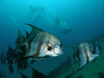 Atlantic Spadefish. These Atlantic Spadefish were swimming on the Ancient Mariner with some scuba divers in the back ground, Pompano beach, Florida Stock Photography