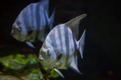 Atlantic spadefish (Chaetodipterus faber). Stock Images