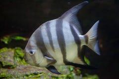 Atlantic spadefish (Chaetodipterus faber). Royalty Free Stock Photography