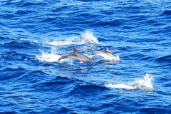 Atlantic Spotted Dolphins Stock Photos
