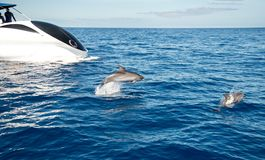 Atlantic spotted dolphins. Near la Palma Stock Photos