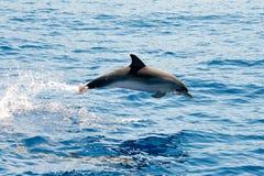 Atlantic spotted dolphins. Near la Palma Royalty Free Stock Photo