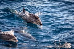 Atlantic spotted dolphins, Stenella frontalis, in the Atlantic ocean near Gran Canaria. stock images