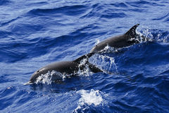 Atlantic Spotted Dolphins surfacing Royalty Free Stock Photography