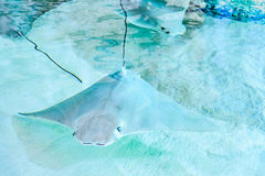 Atlantic stingray or Dasyatis sabina is a species of stingray in Stock Image