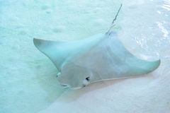 Atlantic stingray or Dasyatis sabina is a species of stingray in Stock Images