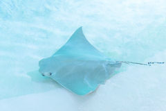 Atlantic stingray or Dasyatis sabina is a species of stingray in Royalty Free Stock Images