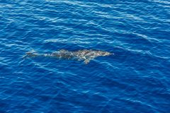 Atlantic striped dolphins near the Azores Island. Dolphin in the ocean waves royalty free stock photo