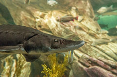 Atlantic sturgeon  (Acipenser oxyrinchus oxyrinchus) Royalty Free Stock Image