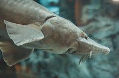 Atlantic sturgeon. Atlantic sturgeon in the zoo. Acipenser oxyrinchus oxyrinchus royalty free stock photo