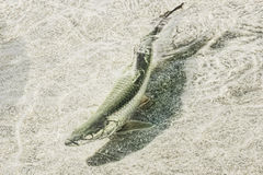 Atlantic Tarpon Stock Images