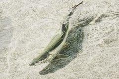 Atlantic Tarpon. Swimming in water Stock Images