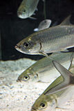 Atlantic tarpon Fish in Aquarium. Royalty Free Stock Image