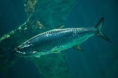 Atlantic tarpon Megalops atlanticus. Marine fish Royalty Free Stock Image