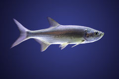 Atlantic Tarpon (Megalops cyprinoides) Royalty Free Stock Photos