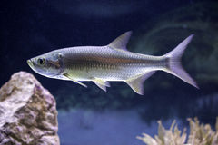 Atlantic Tarpon (Megalops cyprinoides) Stock Image