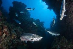 Atlantic Tarpon in Underwater Grotto Royalty Free Stock Photos