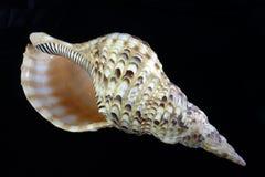 Atlantic Triton Shell (Charonia variegata) Royalty Free Stock Photos
